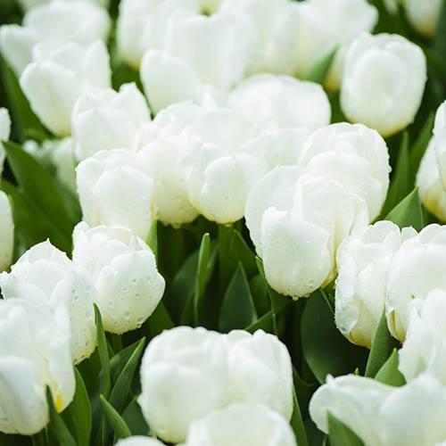 Tulip Tulipa Double White