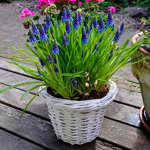 Spring Bulb Collection plus fertiliser
