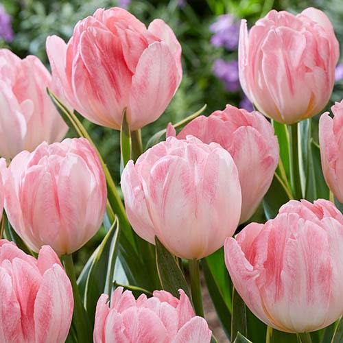 Pretty in Pink Bulb Collection