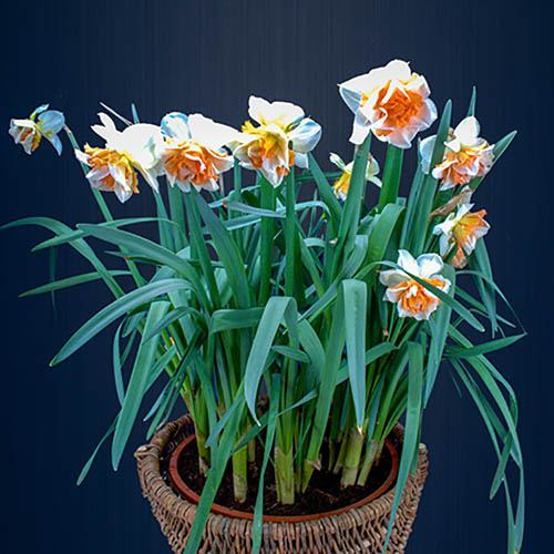 Spring Scents Bulb Collection of 48 bulbs