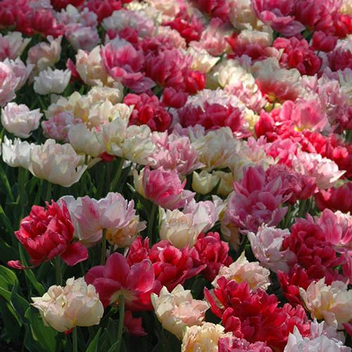 Picture Perfect Double Flowered Tulips