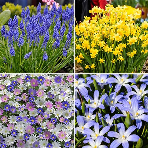 Naturalising Spring Bulb Collection