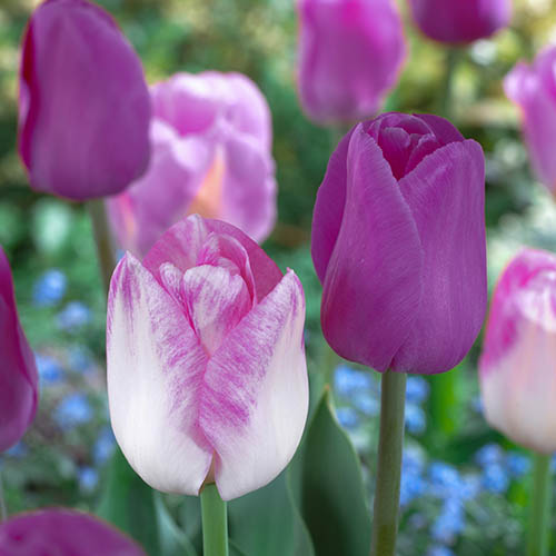 Tulips Purple Shades