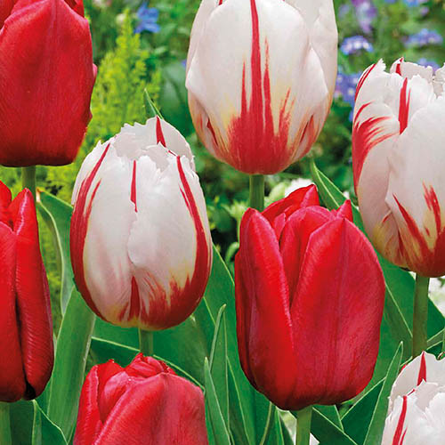 Tulips Strawberry & Cream