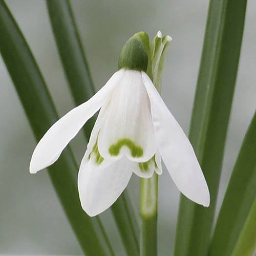 Single-Flowered Snowdrops In The Green