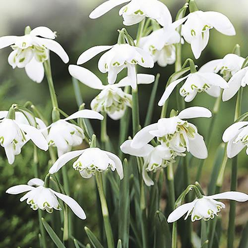 Double-Flowered Snowdrops In The Green pack of 25.