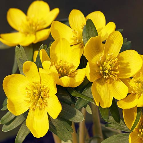 British Native Aconites In the Green