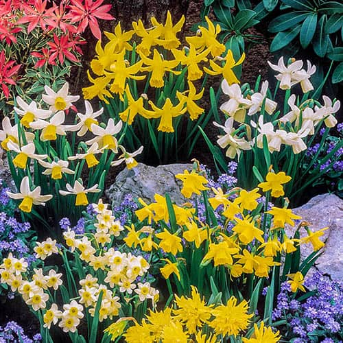 Short Mixed Daffodils