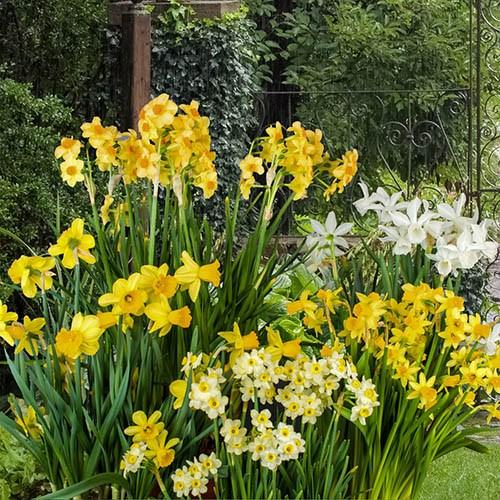 Miniature Daffodils Mix