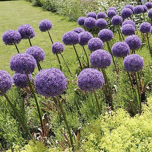 Giant Allium Globemaster -