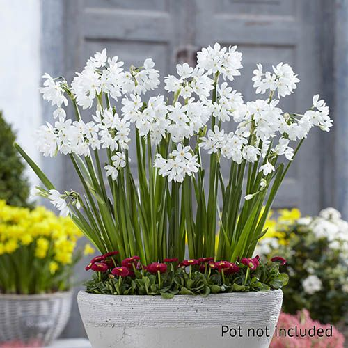 Indoor Narcissi 'Paperwhite' bulbs x10