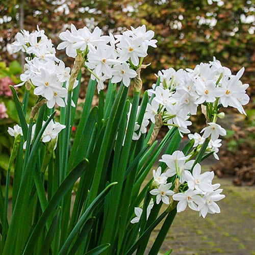 Indoor Scented Narcissi Paperwhites - pack of 10
