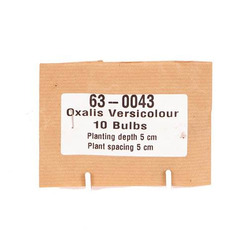 Candy Cane Sorrel (Oxalis versicolour)