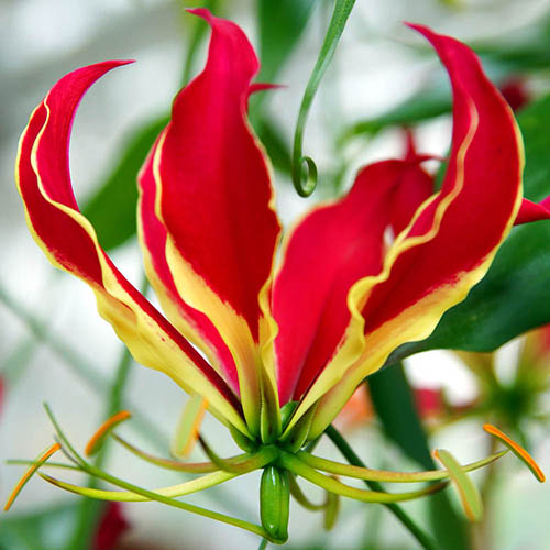 Exotic 'Flame Lily' (Gloriosa rothschildiana) plant - pack of 3 tubers