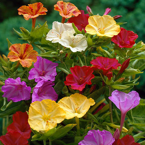 Marvel of Peru Mirabilis jalapa - pack of 10 bulbs