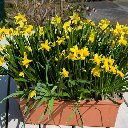 Narcissus Tete a Tete - Pack of 50 Top Size Bulbs