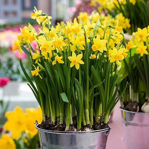 100 Narcissus Tete a Tete XL Bulbs