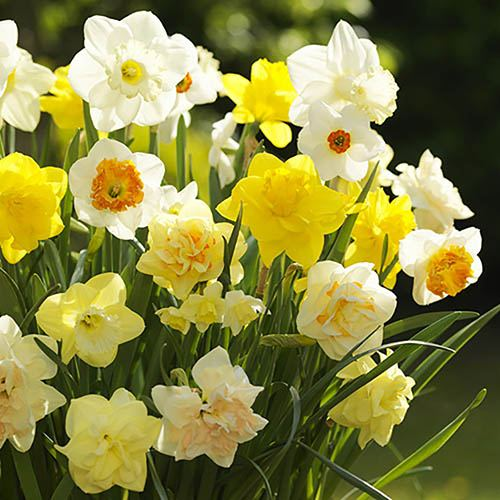 Value English Daffodil Mix 25Kg net