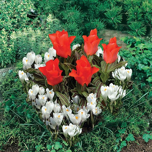 Heart Shape - Red Tulip & White Crocus 21 bulbs