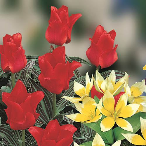 Blooming Fast Drop In Bulb Planter Balcony Beauty Pack