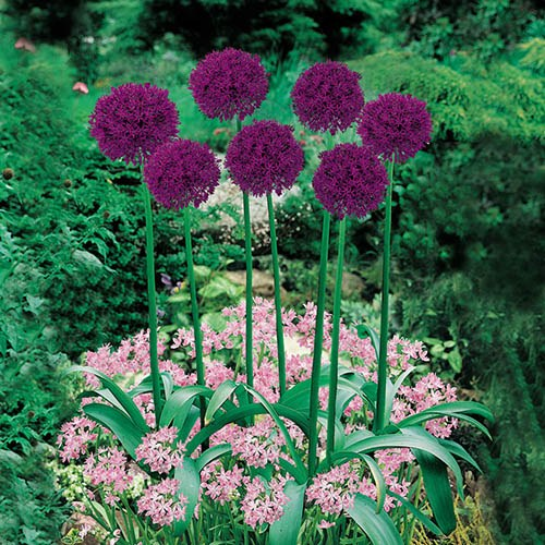 Plant-O-Mat Classic Bulb Planter includes 45 Mixed Allium Bulbs