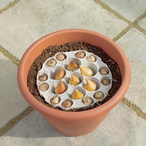 Classic Planter - Allium Mix 45 bulbs