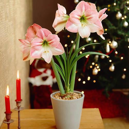 XXXL Jumbo Amaryllis Apple Blossom Bulb