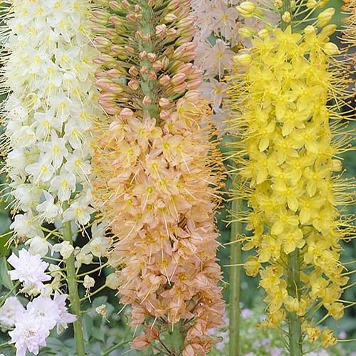 Eremurus Ruiter Hybrids Foxtail Lily