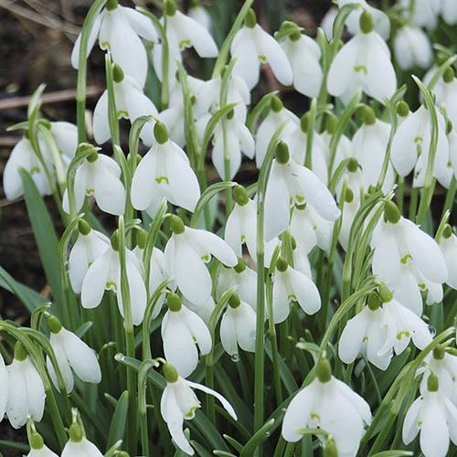 Snowdrops In the green 100 single flowered bulbs