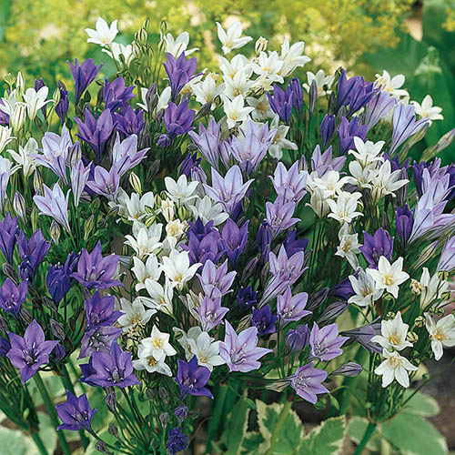 The Complete Summer Flowering Bulb Collection