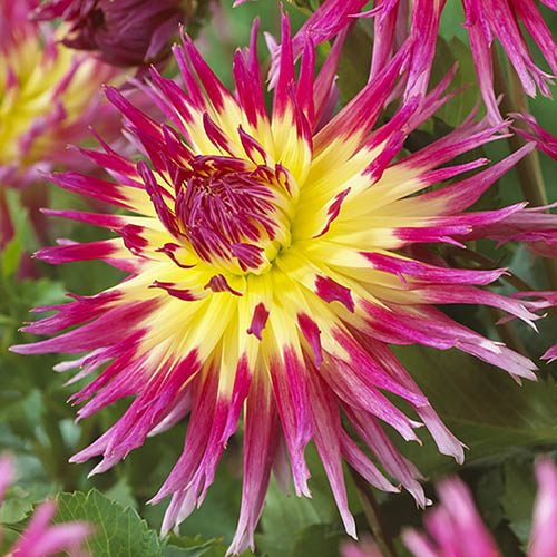 Pack of 3 Dahlia Lindsay Michelle Tubers Ready to Plant