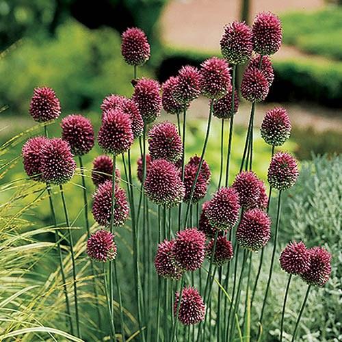 200 Bulbs- Anemone/Allium/Chionodoxa/Crocus