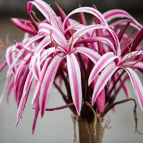 Crinum Cintho Alpha x 2 large bulbs 24/26