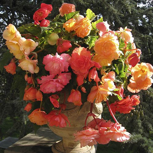Fragrant Trailing Begonia Aromantics