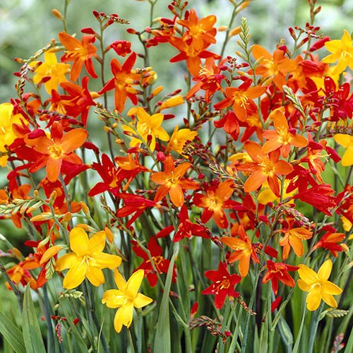 Crocosmia - Montbretia - pack 25 corms