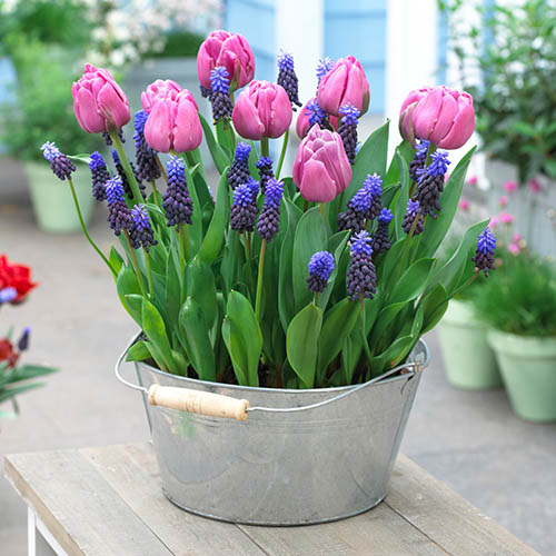 Blooming Fast Drop In Bulb Planter Tulip and Muscari Kit