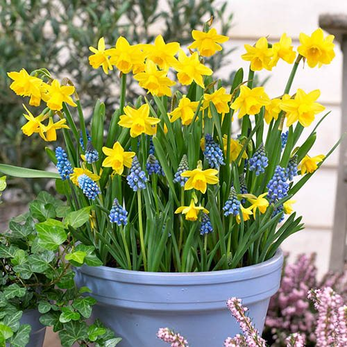 Blooming Fast Drop In Bulb Planter Narcissus and Scilla Kit