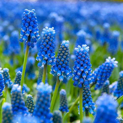 Plant o Mat Narcissus and Scilla Planting Kit