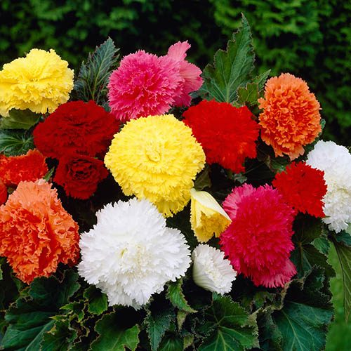 Fringed Begonia Fimbriata Mix