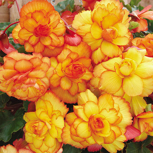 Begonia Apricot Fiery Shades Mix  x 10 tubers