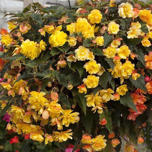 Trailing Begonia Illumination Apricot Shades