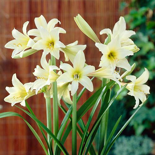 Hardy Garden Amaryllis Sonatini