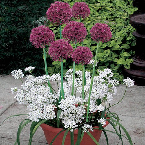 Blooming Fast Drop In Bulb Planter Allium Kit