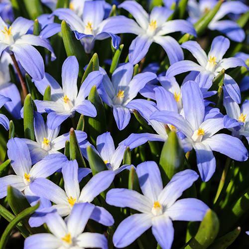 Woodland Spring Bulb Mix