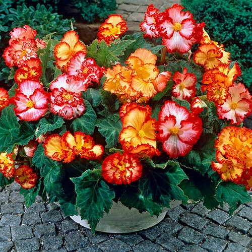 Begonia Marginata Mix