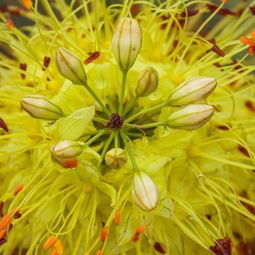 Foxtail Lily Eremurus Tap Dance