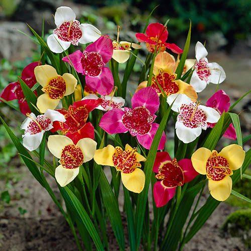 Aztec Lily Tigridia pavonia Mixed