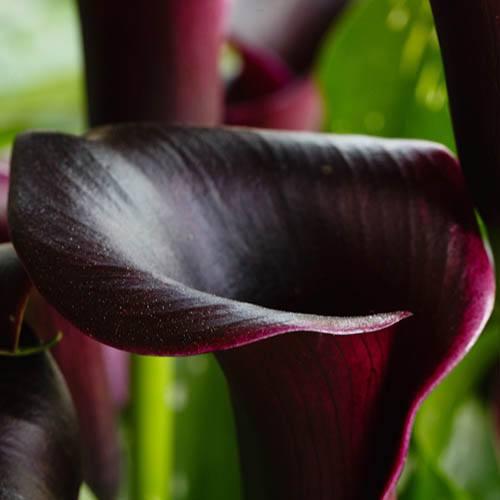 Black Calla Lily Zantedeschia Cantor