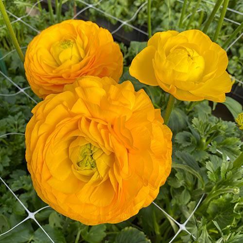 Ranunculus Elegance Giallo
