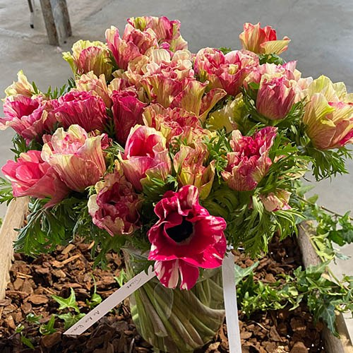 Anemone Mistral Mixed Bulbs